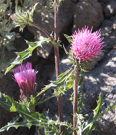 Andersons Thistle