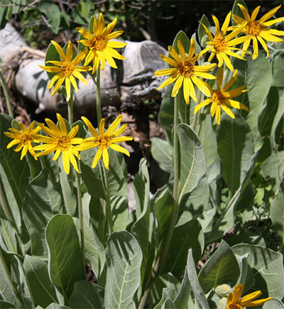 Lake Tahoe Wildflower Mule Ears
