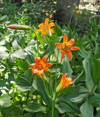 Lake Tahoe Wildflower Sierra Tiger Lily