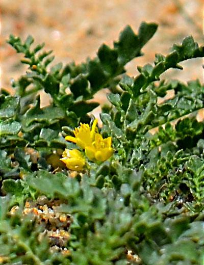 Tahoe Yellow Cress