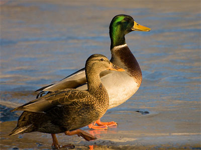 Mallard duck sitting afloat