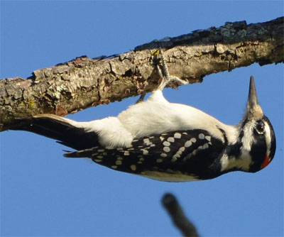 Hairy Woodpecker set to begin its pecking