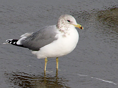 A California Seagull at the beach