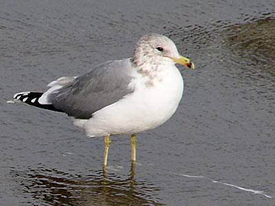 California Seagull at the beach